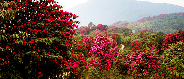 Barsey Rododendron Sanctuary - Sikkim - Atma Asia Travel